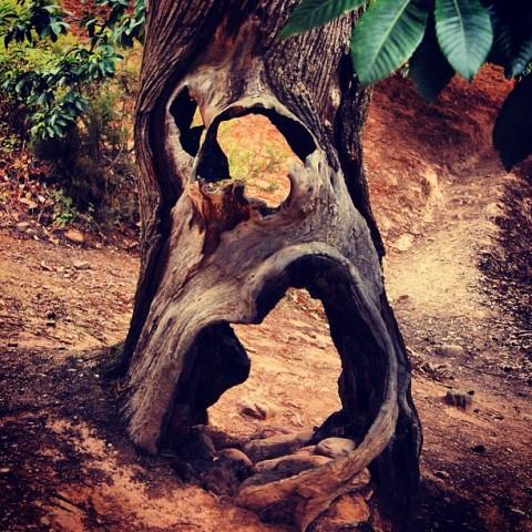 Una gran O del castaño. Sobrevive con las paredes al aire y todavía, aunque los romanos y sus esclavos se marcharon hace siglos, encuentra motivo para frutos. Toda una castaña.